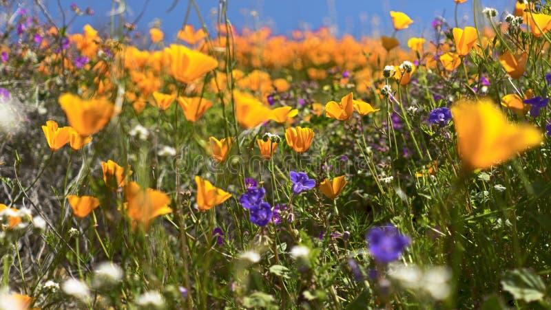 加利福尼亚金黄鸦片和紫色花 免版税库存图片