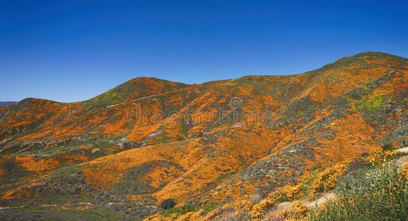 加利福尼亚金黄鸦片山坡  免版税库存照片