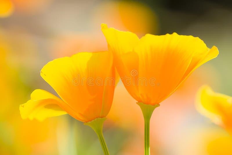 加利福尼亚金黄鸦片 免版税库存图片