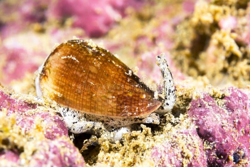 加利福尼亚锥体蜗牛 免版税库存照片