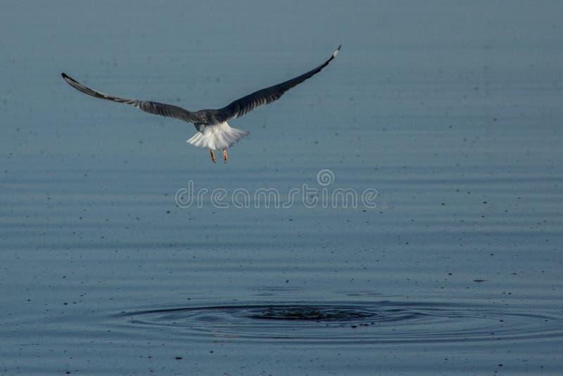 加利福尼亚鸥从索尔顿湖发射 库存图片