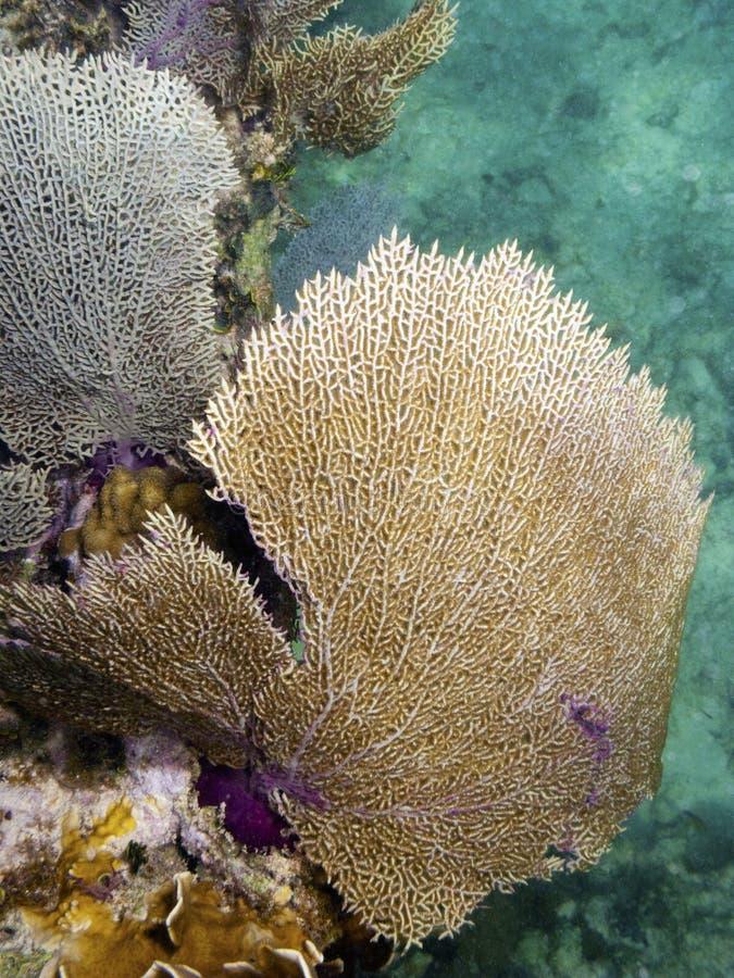 加勒比公用珊瑚 免版税图库摄影