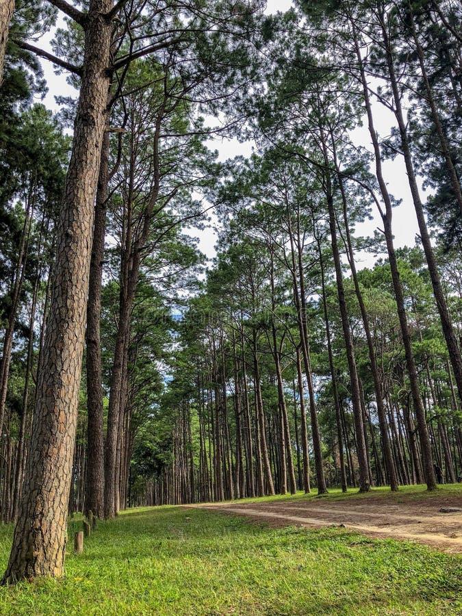 加勒比杉木在Tonson繁殖的地区,清迈 库存照片