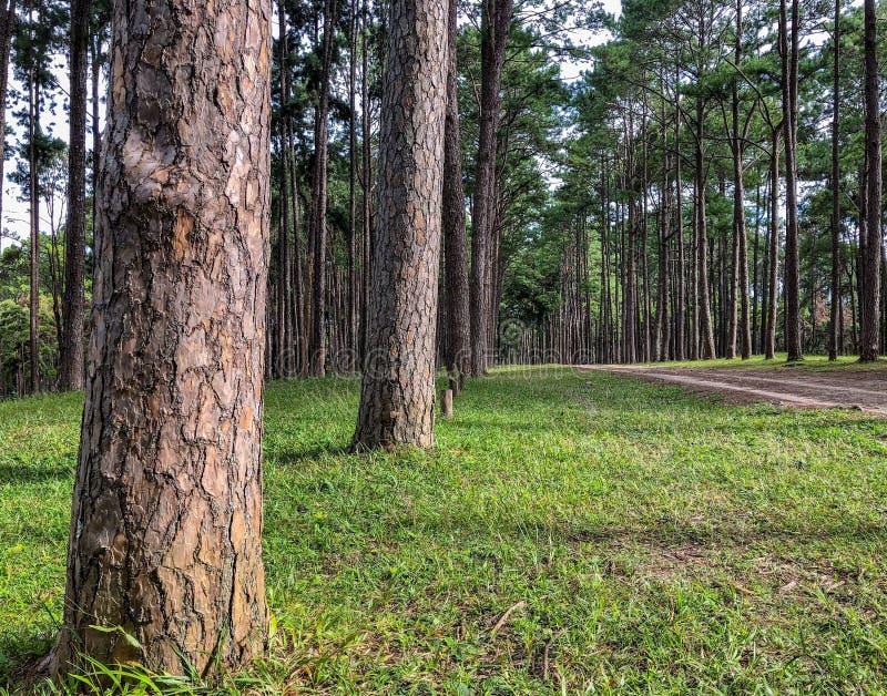 加勒比杉木在Tonson繁殖的地区,清迈 图库摄影