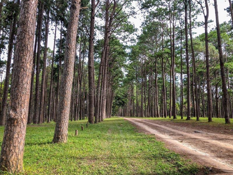 加勒比杉木在Tonson繁殖的地区,清迈 库存图片