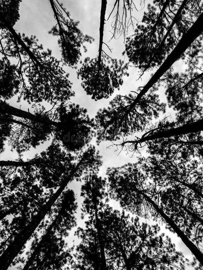 加勒比杉木在Tonson繁殖的地区,清迈 免版税图库摄影