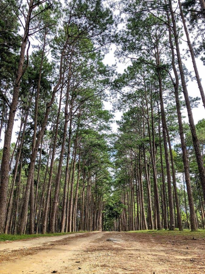 加勒比杉木在Tonson繁殖的地区,清迈 免版税库存图片