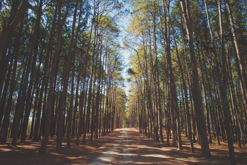 加勒比杉木松属caribaea树是长的行 蟒蛇kaeo造林的研究工作站Suan儿子bor kaeo的,池氏杉木公园 图库摄影