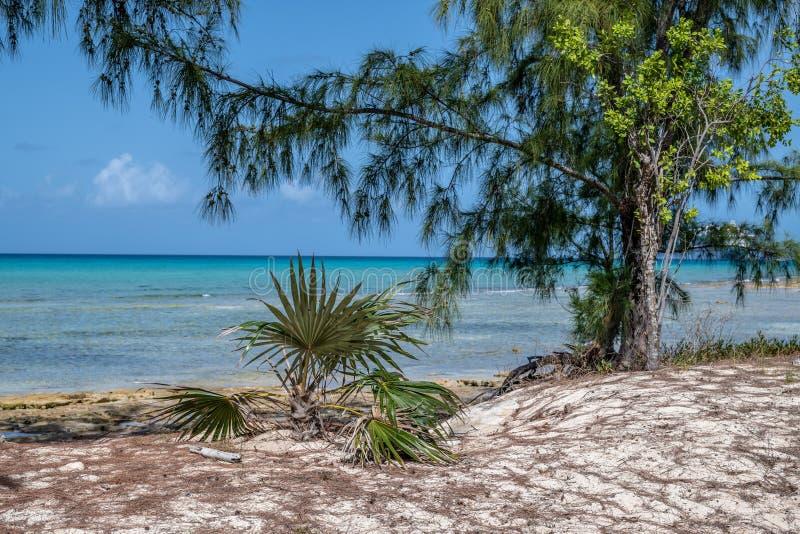 加勒比杉树 免版税库存照片