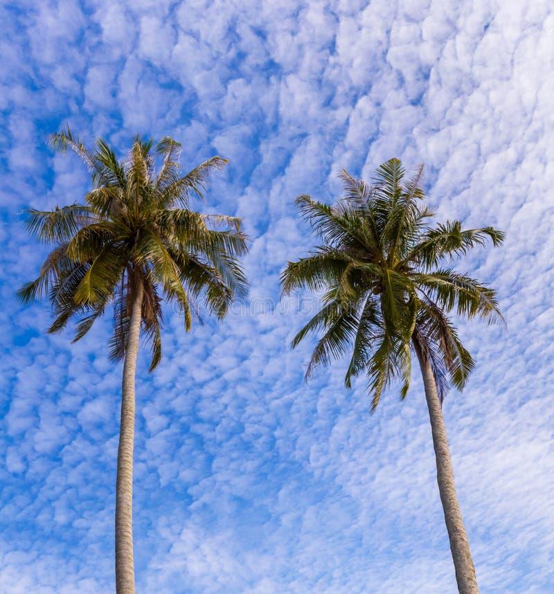 加勒比椰子古巴棕榈树 免版税图库摄影