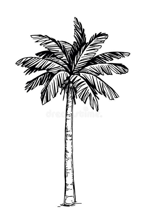 加勒比椰子古巴棕榈树 向量例证