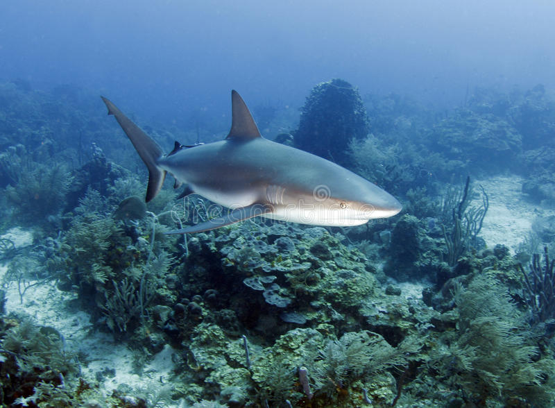 加勒比洪都拉斯大礁石roatan鲨鱼 库存图片