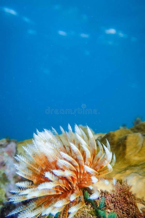 加勒比海马提尼克岛安塞阿兰海滩水下岩石上的羽毛虫或管虫 免版税库存照片