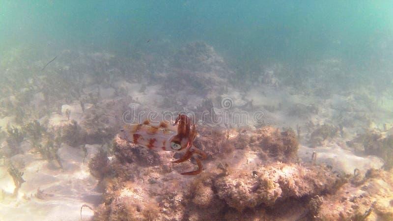 加勒比潜水海运 热带的鱼 乌贼少年棕色带 免版税图库摄影