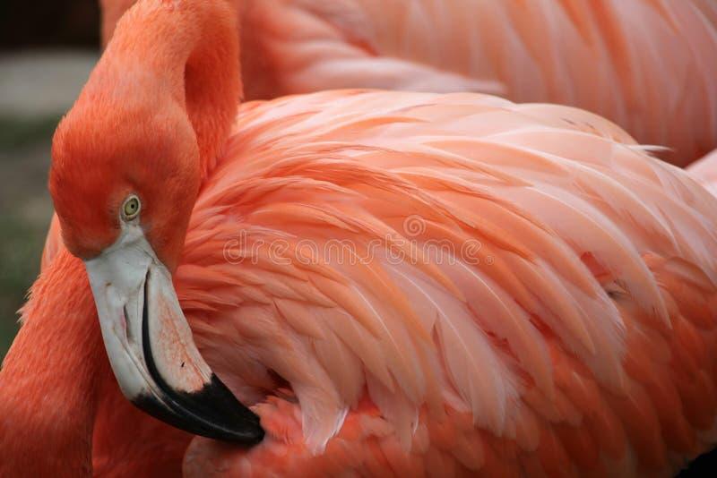 加勒比火鸟 免版税库存图片