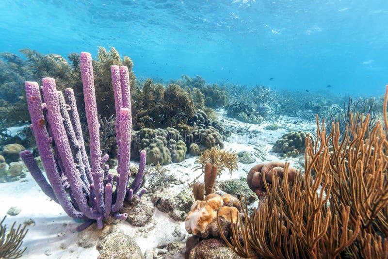 加勒比珊瑚礁 免版税库存照片
