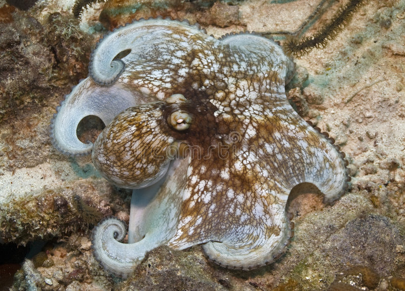 加勒比章鱼 免版税图库摄影