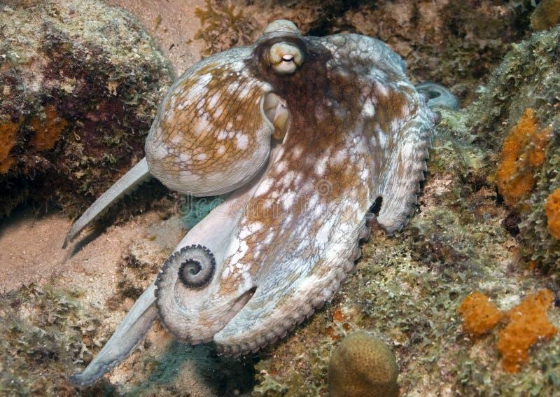 加勒比章鱼 库存图片
