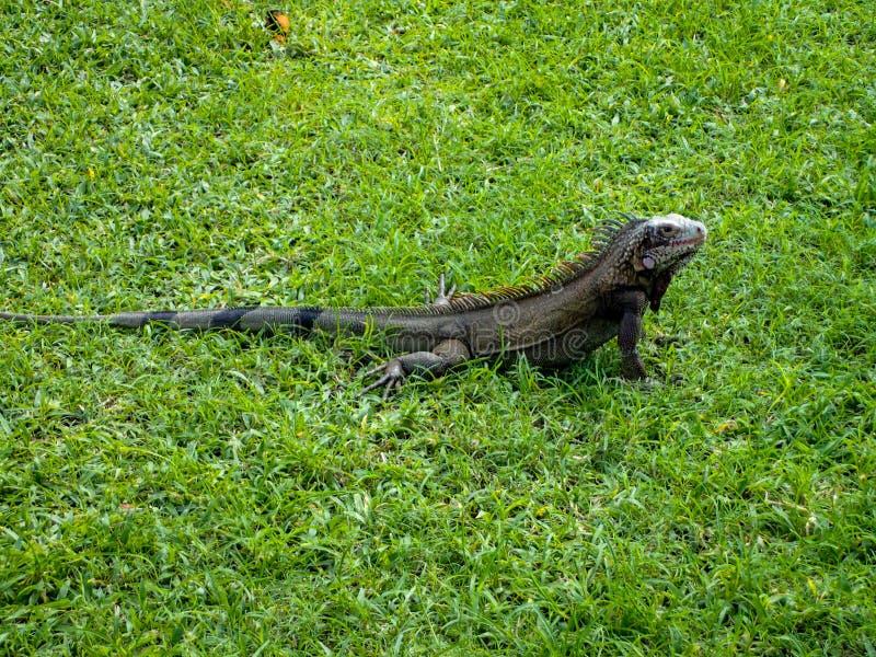 加勒比蜥蜴坐在草地上。加勒比海绿蜥蜴晒太阳 库存照片