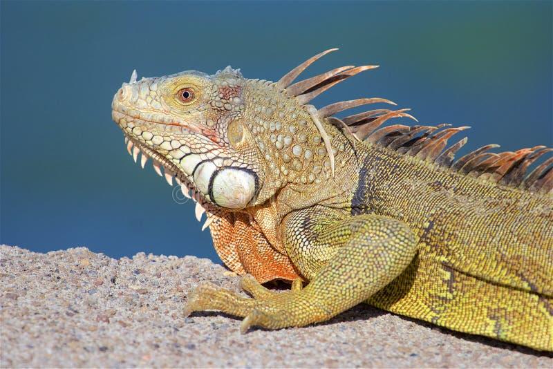 加勒比鬣鳞蜥 免版税库存照片