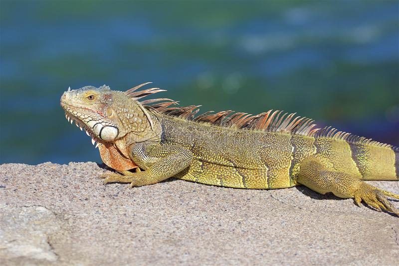 加勒比鬣鳞蜥 免版税库存图片