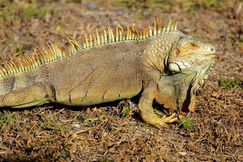 加勒比鬣鳞蜥 库存照片