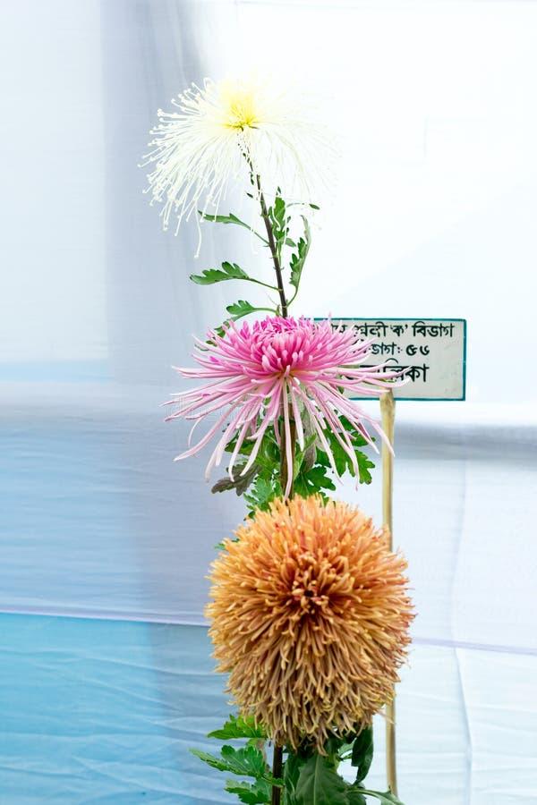 加尔各答园艺社会,西孟加拉邦,印度2019年5月-蜜蜂香膏和大丽花在盛开的郁金香花在一朵每年花 库存照片