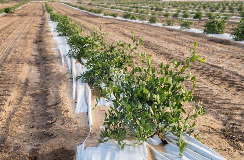 加州希蒙得木植物 生长在农场的加州希蒙得木灌木 免版税图库摄影