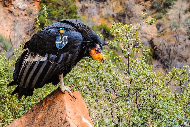 加州秃鹰 库存图片