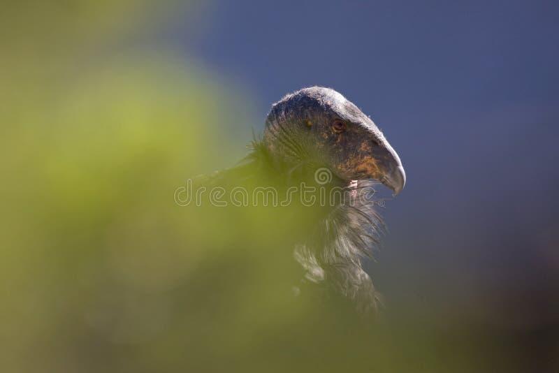 加州秃鹰 免版税库存照片