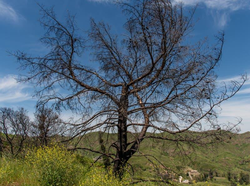 加州马里布,一棵死树被一场野火烧毁,山林绿意盎然,春季花卉丛生 免版税图库摄影
