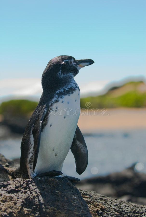 加拉帕戈斯企鹅,加拉帕戈斯群岛 库存照片