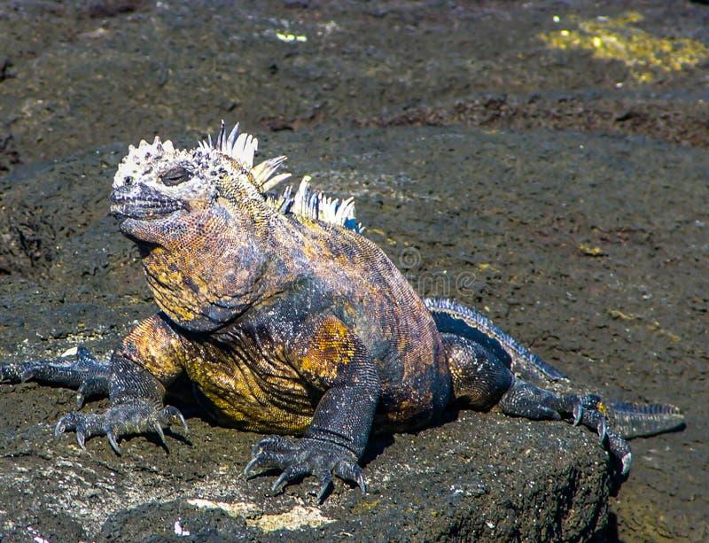 加拉帕戈斯土地鬣鳞蜥微笑 免版税库存照片