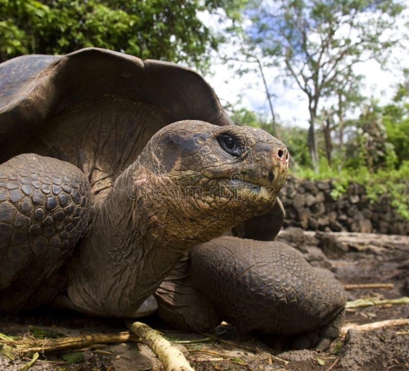 加拉帕戈斯巨型海岛草龟 图库摄影
