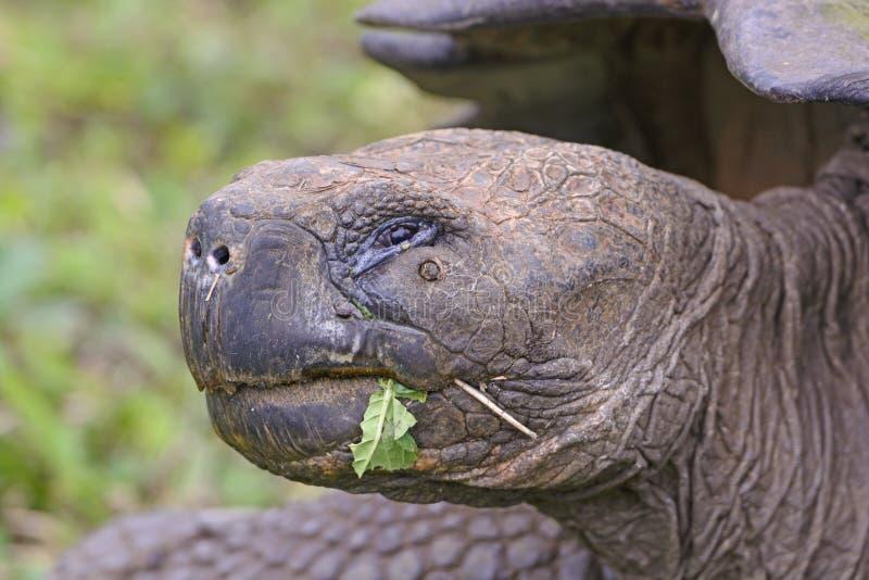 加拉帕戈斯巨型草龟的顶头射击 库存图片