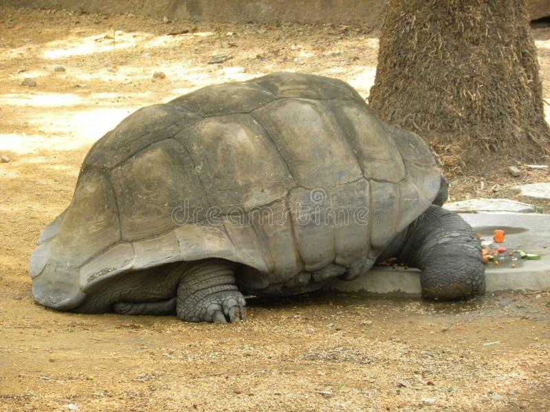加拉帕戈斯巨型草龟陆龟地胆草 库存图片