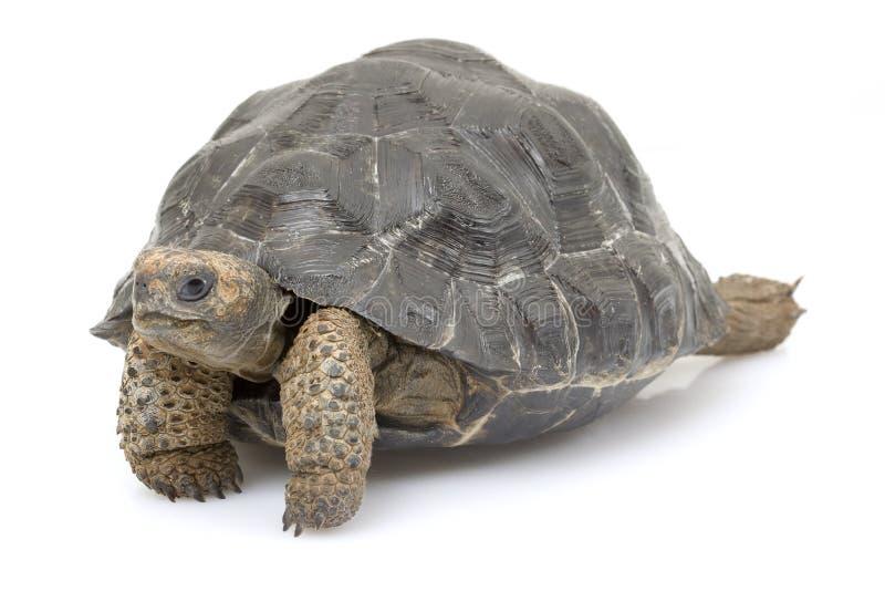 加拉帕戈斯巨型草龟 免版税图库摄影