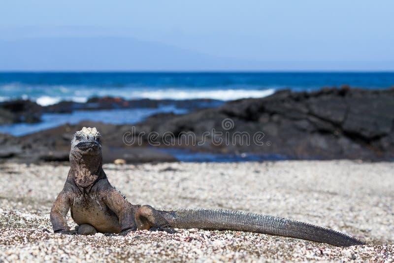加拉帕戈斯海产鬣蜥蜴在海滩的喙cristatus,圣地亚哥海岛,加拉帕戈斯群岛,厄瓜多尔 免版税库存照片
