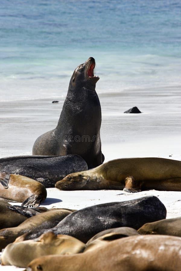 加拉帕戈斯海狮-加拉帕戈斯群岛 库存图片