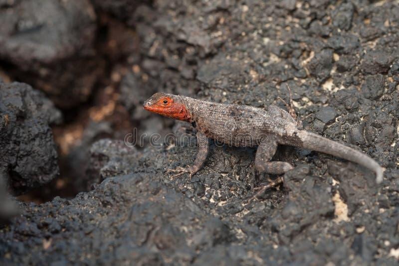 加拉帕戈斯熔岩蜥蜴,女性 库存照片