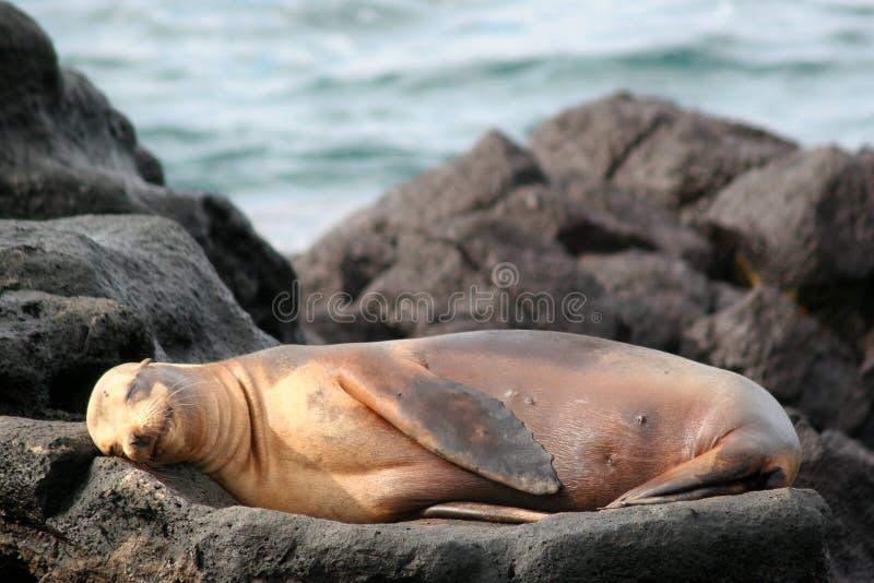 加拉帕戈斯狮子海运 免版税库存图片