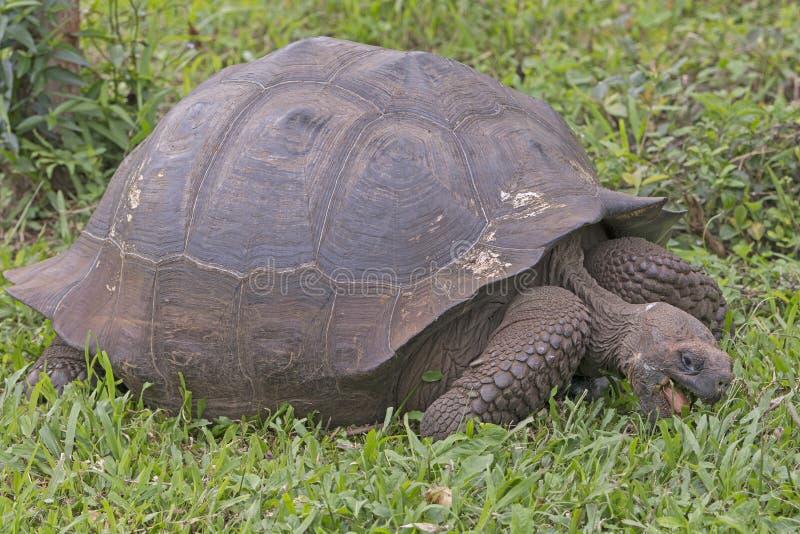 加拉帕戈斯草龟吃 免版税库存图片