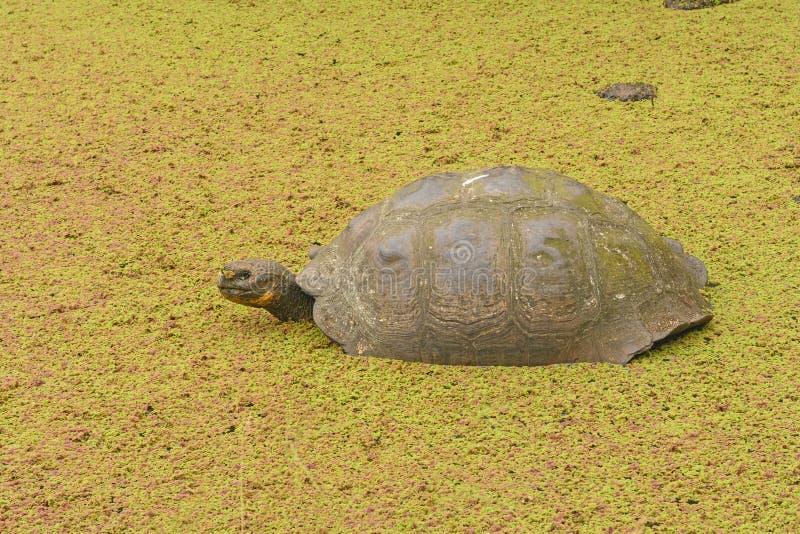 加拉帕戈斯草龟在一个浅池塘 库存图片