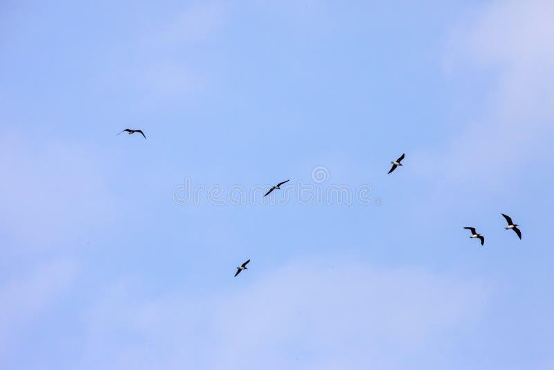 加拉帕戈斯蓝色有脚的青有脚的笨蛋群飞行在海洋水的寻找鱼在沙特阿拉伯吉达 库存图片