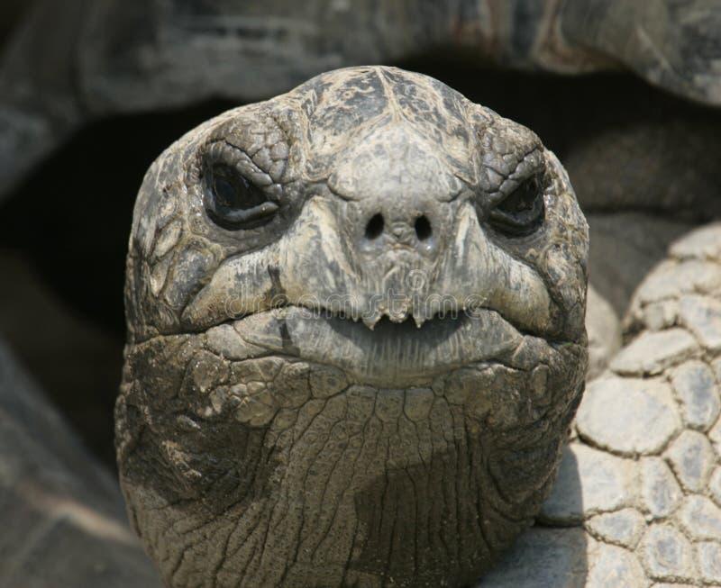 加拉帕戈斯顶头乌龟 免版税库存图片