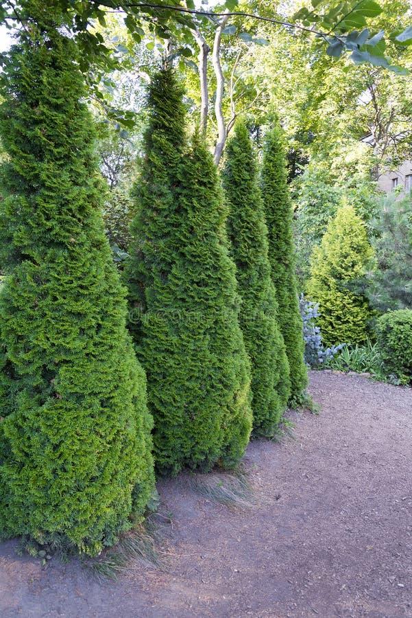 加拿大云杉的圆锥形,美丽的绿色树特写镜头 库存图片