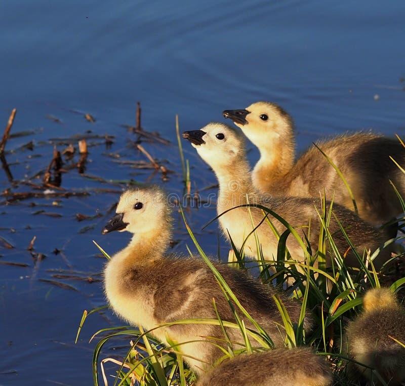 加拿大在池塘边缘的鹅幼鹅  免版税库存照片