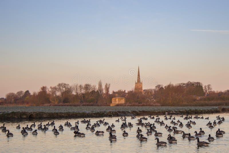 加拿大在泰晤士河的鹅黑雁Canadensis 库存图片