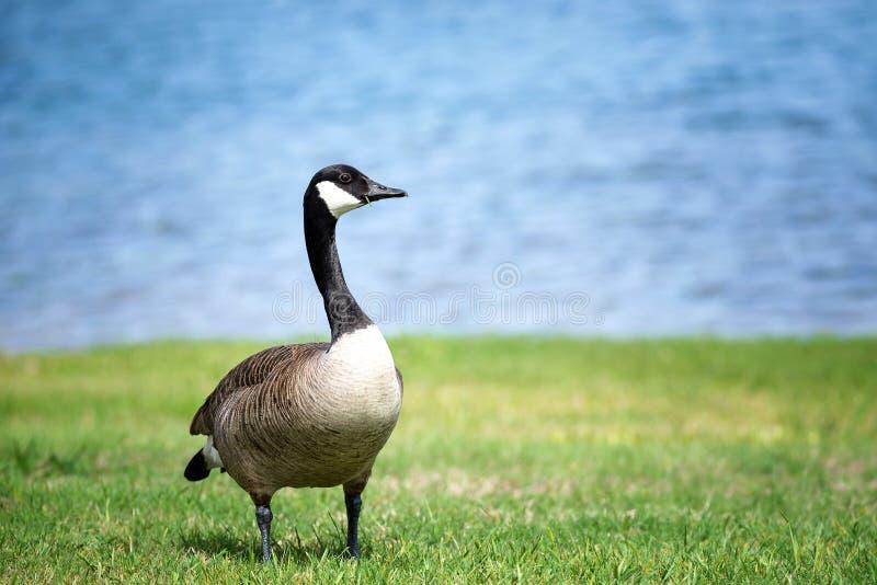 加拿大在草的鹅身分 免版税库存图片