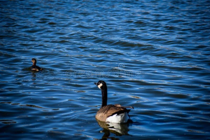 加拿大在鸭子以后的鹅游泳 库存照片